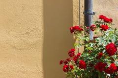 czerwone róże na kolor żółty ścianie Obraz Royalty Free