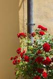 czerwone róże na kolor żółty ścianie Zdjęcia Royalty Free