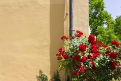 czerwone róże na kolor żółty ścianie Fotografia Stock