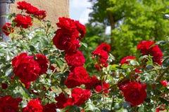 czerwone róże na kolor żółty ścianie Zdjęcie Stock