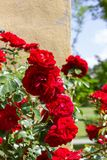 czerwone róże na kolor żółty ścianie Zdjęcia Stock