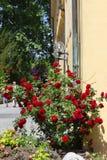 czerwone róże na kolor żółty ścianie Obrazy Royalty Free