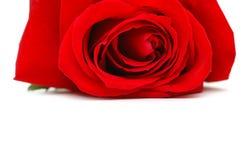 czerwone róże tło odizolowane white Zdjęcie Stock