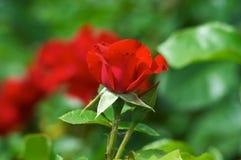 czerwone róże ulicznych obraz stock