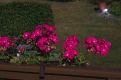 Czerwone róże w furze fotografującej podczas fotografia stock