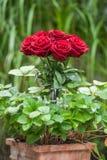 Czerwone róże w kwiatu garnku zdjęcie royalty free