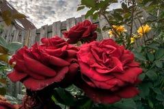 Czerwone róże w miastowym ogródzie zdjęcia royalty free