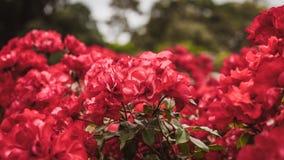 Czerwone róże w ogródzie zdjęcia stock