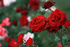 Czerwone róże w ogródzie z zielonym tłem Zdjęcia Stock