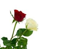 czerwone róże white Obraz Royalty Free
