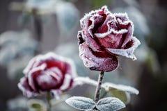 Czerwone róże z koronką Obraz Stock
