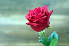 Czerwone róże z wodą opuszczają na plamy tle Selekcyjna ostrość zdjęcie royalty free