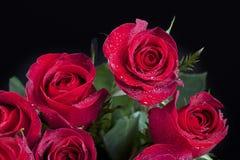 Czerwone róże zakrywać z rosą Fotografia Stock