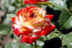 Czerwone róże. Zdjęcie Royalty Free