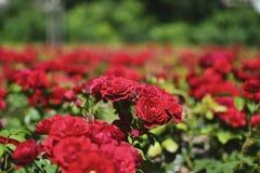 czerwone róże Zdjęcia Stock