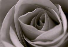 czerwone róże Obrazy Royalty Free