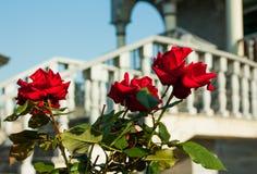 Czerwone róże w letnim dniu Obrazy Royalty Free