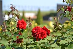 Czerwone róże w ogródzie obraz stock