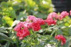 Czerwone róże w ogródzie zdjęcia royalty free
