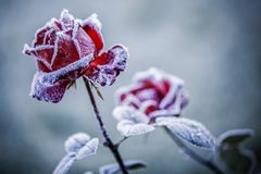 Czerwone róże w zimie Zdjęcie Royalty Free