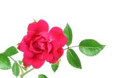 czerwone róże white Zdjęcie Stock