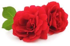 czerwone róże Fotografia Royalty Free