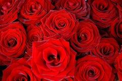 czerwone róże Zdjęcie Stock