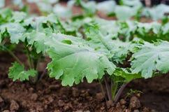 'Czerwone Rosyjskie' Kale rośliny Fotografia Royalty Free