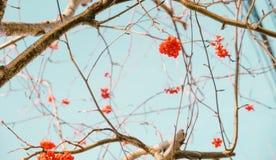 Czerwone rowan jagody, gałąź i Zdjęcie Royalty Free