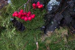Czerwone Rowan jagody na mech Zdjęcie Royalty Free
