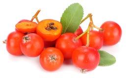 czerwone rowan jagody z zielonym liściem odizolowywającym na białym tle Makro- zdjęcia stock