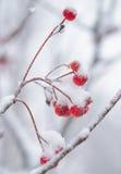 Czerwone Rowan jagody Zakrywać Z Świeżym śniegiem Zdjęcie Royalty Free
