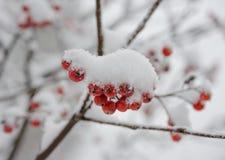 Czerwone Rowan jagody Zakrywać Z Świeżym śniegiem Fotografia Stock