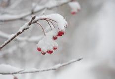 Czerwone Rowan jagody Zakrywać Z Świeżym śniegiem Zdjęcia Stock