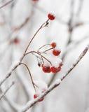 Czerwone Rowan jagody Zakrywać Z Świeżym śniegiem Obraz Stock