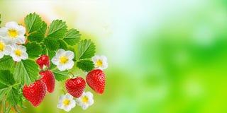 Czerwone smakowite ogrodowe truskawki zdjęcia royalty free