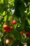 Czerwone syzygium spp owoc na drzewie zdjęcia stock