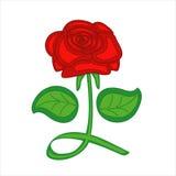 czerwone tło białe róże Fotografia Royalty Free