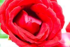 czerwone tło białe róże Gorących menchii kwiatu sztandaru szablon tła boutonniere karty wystroju dekoraci zaproszenia perły róże  Fotografia Royalty Free