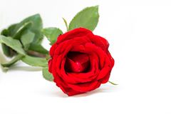 czerwone tło białe róże Piękny okwitnięcie z aksamitnym płatkiem Czerwony kwiatu sztandaru szablon Obraz Royalty Free
