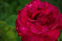 czerwone tło zielona róża Fotografia Royalty Free