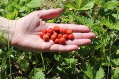 Czerwone truskawki kłamają na palmie ręka fotografia royalty free