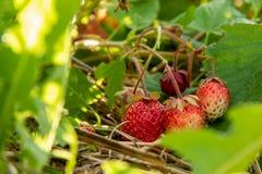 Czerwone truskawki wśród zielonego ulistnienia w ogródzie fotografia stock
