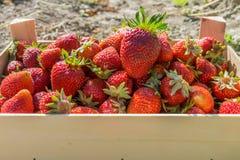 Czerwone truskawki w drewnianego pudełka truskawce uprawiają ziemię Zdjęcie Royalty Free