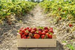 Czerwone truskawki w drewnianego pudełka truskawce uprawiają ziemię Obrazy Royalty Free