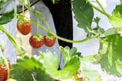czerwone truskawki w ogr?dzie fotografia stock