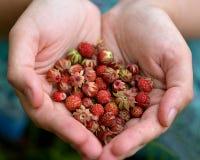 Czerwone truskawki w palma zbierającym zakończeniu obraz royalty free