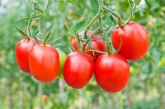 Czerwone wiązki pomidoru zakończenie na tle ogród obraz stock