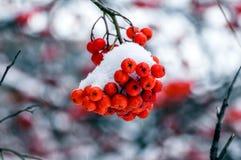 Czerwone wiązki Rowan jagody w śniegu Obrazy Royalty Free