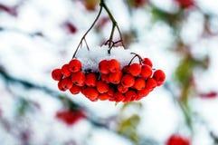 Czerwone wiązki Rowan jagody w śniegu Zdjęcie Royalty Free